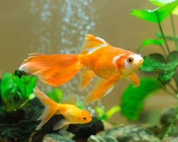 Find Out Goldfish Memory Myths & Reality!
